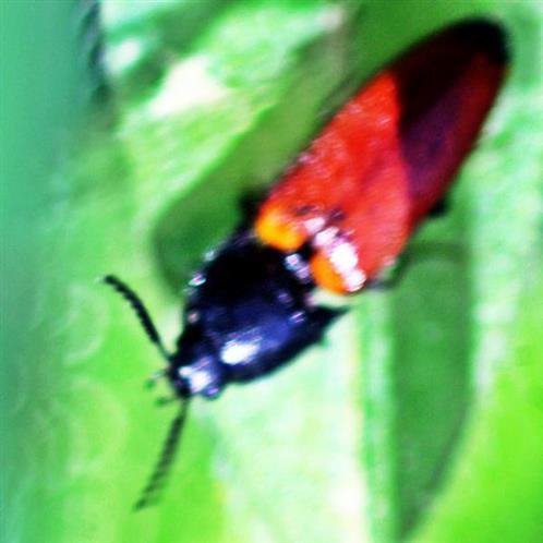 Rotbrauner Schnellkäfer(Ampedus pomorum(Herbst 1784))