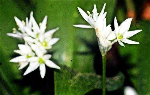 Blüten des Bärlauchs(Allium ursinum(L. ))