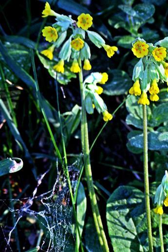 Echte Schlüsselblume(Primula veris(Carl von L.))