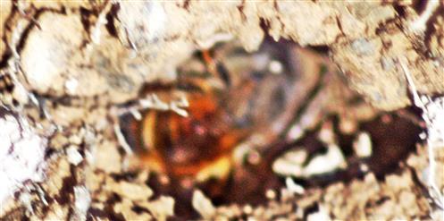 Furchenbiene (Halictus simplex(Blüthgen 1923)) beim Nestbau an der Böschung eines Weges am Waldrand