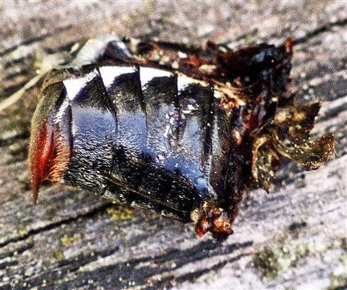 Es gibt sie anscheinend noch(Hinterleib) eines Feld-Maikäfers(Melolontha melolontha(L. 1758))