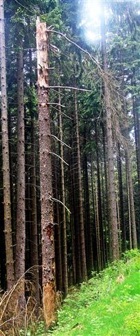 Abgebrochene sowie abgestorbene Fichte(Picea abies(A. Dietr.))