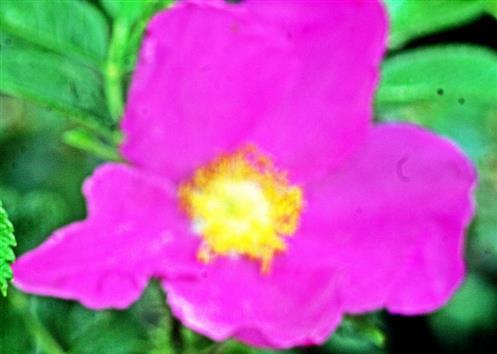 Blüte einer Kartoffelrose(Rosa rugosa(Thunb.))