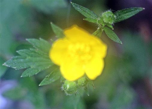 Blüte des Scharfen Hahnenfußes(Ranunculus acris(L.))