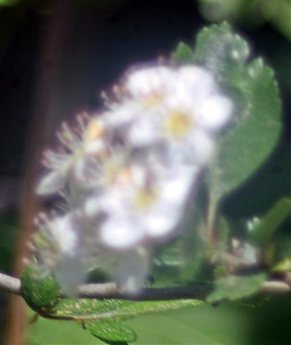 Zweigriffeliger Weißdorn(Crataegus laevigata(L.))