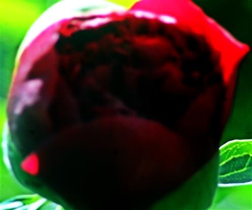 Knospe einer Rote Stauden-Pfingstrose(Paeonia)