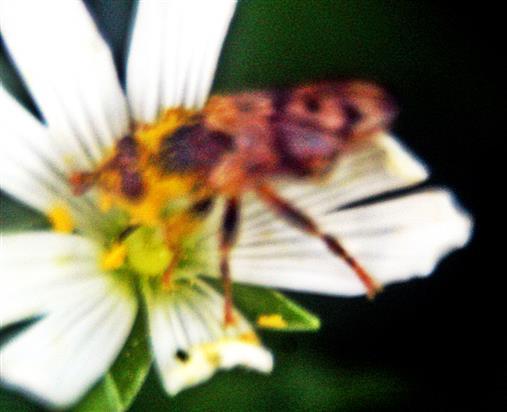 Hornfliege(Tetanocera arrogans(Meigen 1830)) mit Blütenpollen beladen