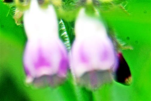 Blüten des Futter-Beinwells(Symphytum x uplandicum(Nyman))