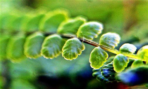 Braunstieliger Streifenfarn(Asplenium trichomanes(L.))