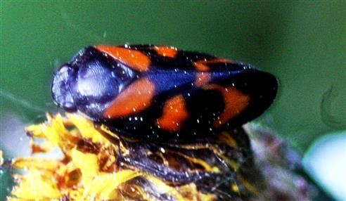 Gemeine Blutzikade(Cercopis vulnerata(Rossi 1807))