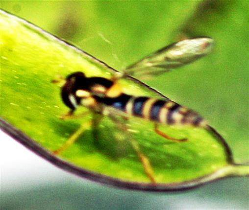 Gemeine oder Gewöhnliche Langbauchschwebfliege(Sphaerophoria scripta(L. 1758))