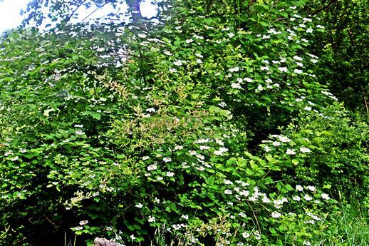 Gemeiner Schneeball(Viburnum opulus(L.)) blühend