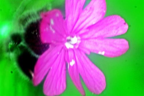 Blüte der Roten Lichtnelke(Silene dioica(L.)Clairv.)