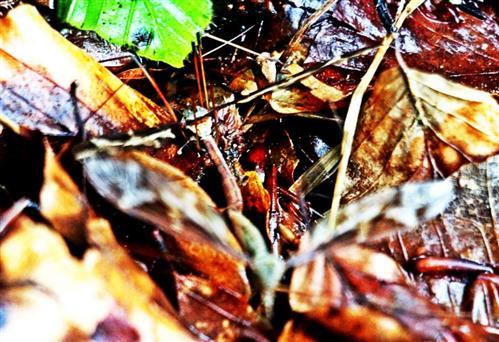 Riesenschnake(Tipula maxima(Poda 1761))