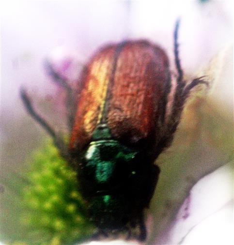 Gartenlaubkäfer(Phyllopertha horticola(L. 1758))
