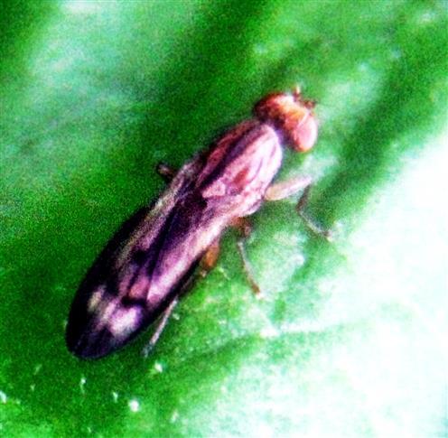 Hornfliege (Elgiva cucularia(L. 1767))