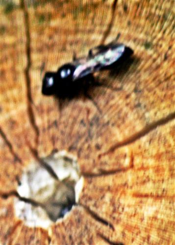 Grabwespe Pemphredon am Nesteingang in einem abgesägten Holunderast