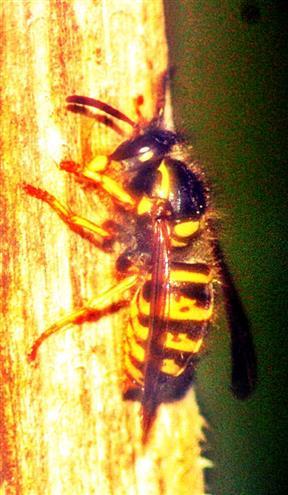 Norwegische Wespe(Dolichovespula norvegica(Fabricius 1781))