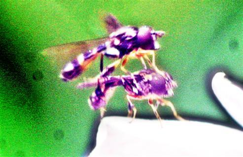 Schwebfliegen(Meliscaeva auricollis(Meigen 1822)) in Kopulation