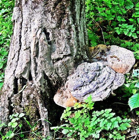 Flacher Lackporling(Ganoderma(P. Karst) applanatum)