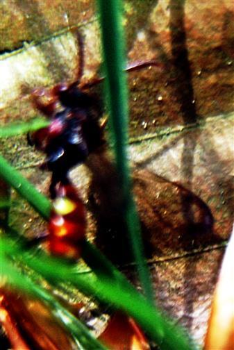 Rote Wespenbiene(Nomada armata(Herrich-Schaeffer 1839))