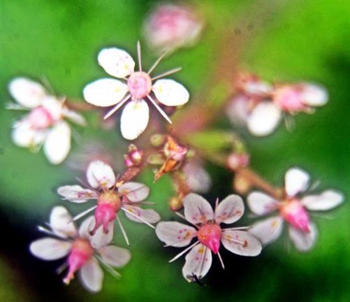 Porzellanblümchen(Saxifraga x urbium(D.A.Webb))