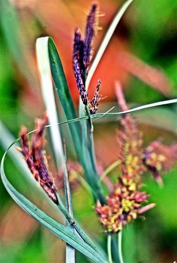 Schlanksegge(Carex acuta(L.))