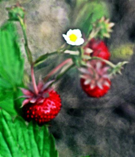 Wald-Erdbeeren(Fragaria vesca(L.))