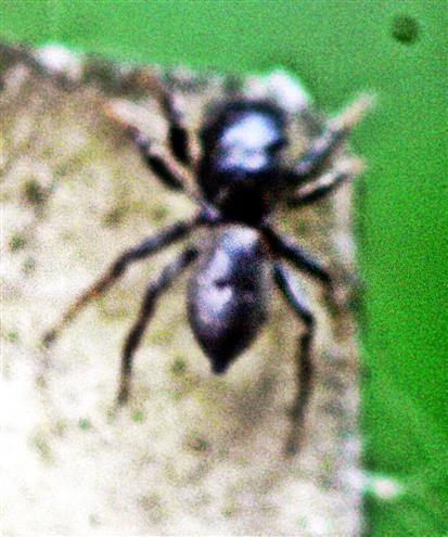 Springspinne(Heliophanus cupreus(männlich))