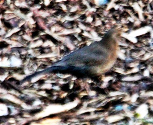 Amsel(Turdus merula(L. 1758))(weiblich) im Vorgarten