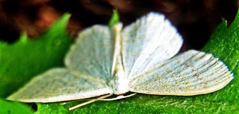 Weißer Blütenspanner(Asthena albulata(Hufnagel 1767))