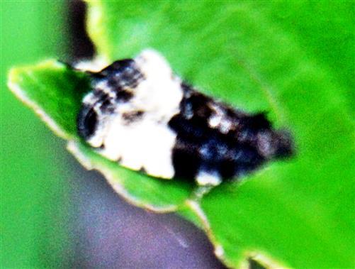 Auwald-Knopsenwickler(Apotomis turbidana(Hübner 1825))