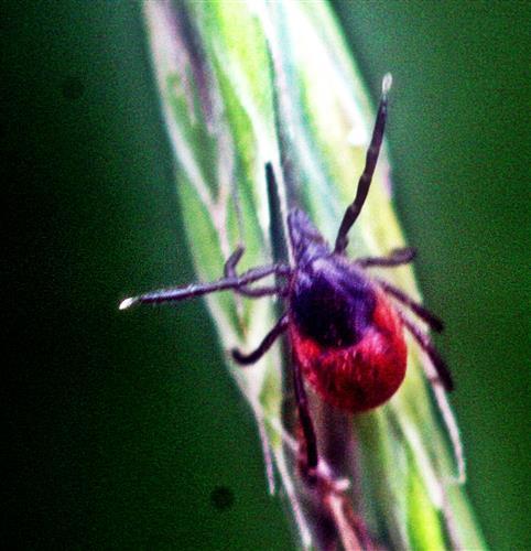 Gemeiner Holzbock(Ixodes ricinus(L. 1758))(weiblich)
