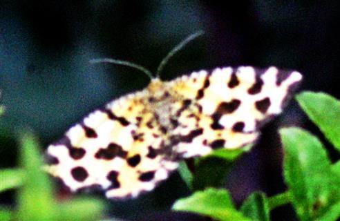 Gelber Fleckspanner(Pseudopanthera maculara(L. 1758))