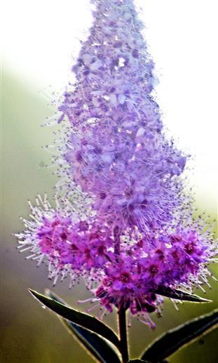 Blütenstand eines Spierstrauches(Spiraea(L.))