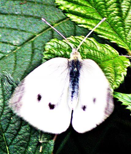 Großer Kohlweißling(Pieris brassicae(L. 1758))