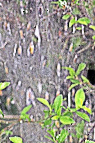 Gespinst mit Räupchen der Pflaumen-Gespinstmotte(Yponomeuta padella(L. 1758)) an Schlehe(Prunus spinosa(L.))