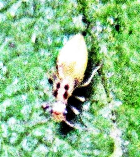 Staublaus(Psocoptera)(eventuell Ectopsocus briggsi)