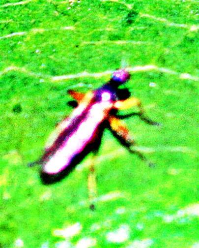 Stelzenfliege(Neria cibaria(L. 1761))(Micropezidae)