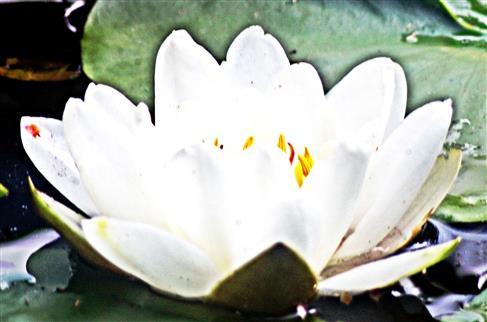 Blüte der Weißen Seerose(Nymphaea alba(L.))