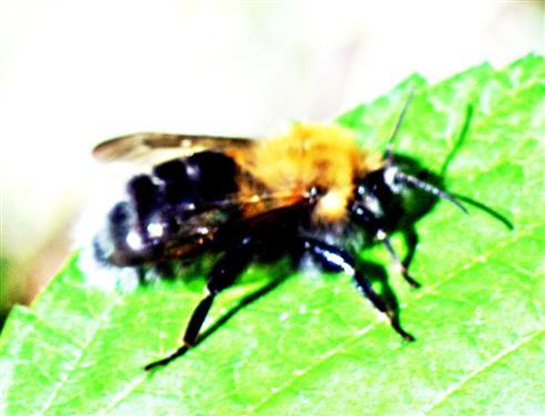Baumhummel(Bombus hypnorum(L. 1758))