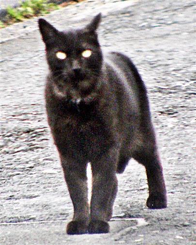 Schwarze Katze(Felis)