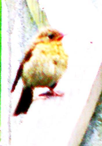 Rotkehlchen(Erithacus rubecula(L. 1758)) (jung)