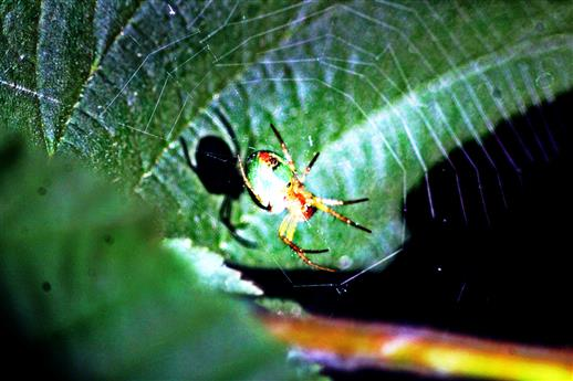 Kürbisspinne(Arianella cucurbitana(L. 1758)) im Netz(ihre Unterseite sichtbar)