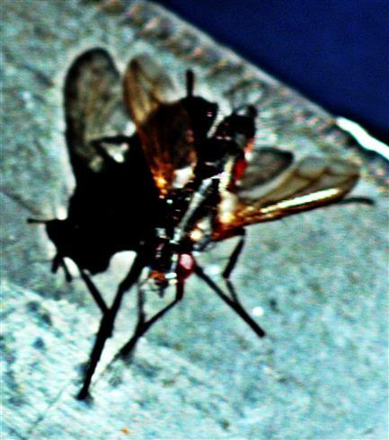 Raupenfliege(Cylindromyia interrupta(Miegen 1824))