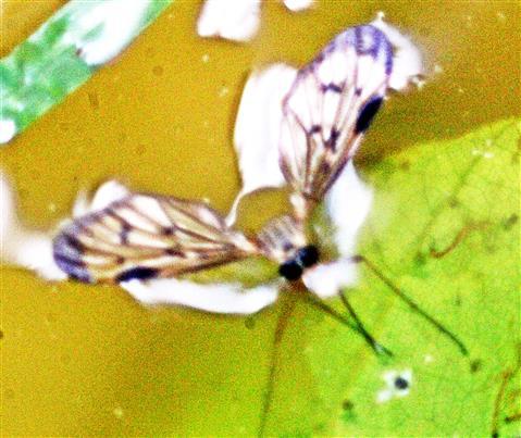Kleine Schnepfenfliege(Chrysopilus asiliformis(Preyssler 1791))