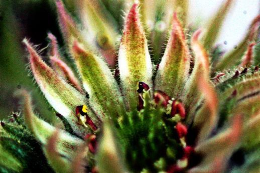 Blüte einer Kalk-Hauswurz(Sempervivum calcareum(Jord.))