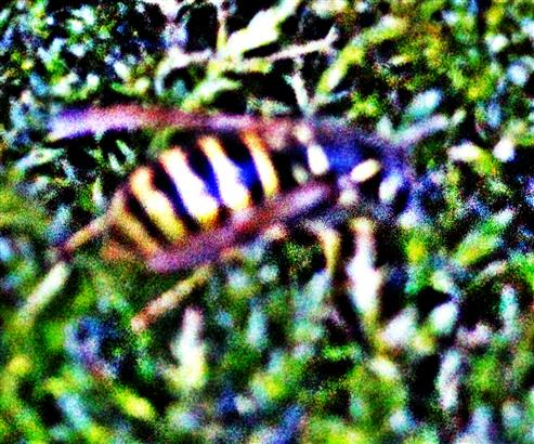 Gemeine Wespe(Vespula vulgaris(L. 1758)) an einer Moostränke
