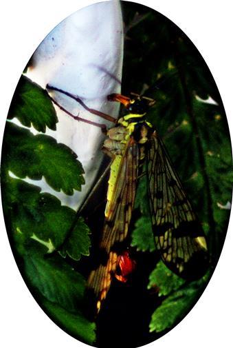 Gemeine Skorpionsfliege(Panorpa communis(L. 1758))(männlich)