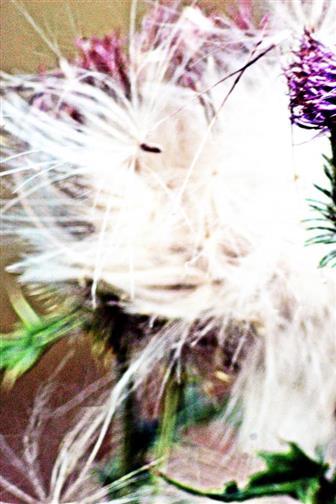 Gewöhnliche Kratzdistel(Cirsium vulgare((Savi.)Ten.) aussamend